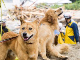 災害救助犬の夢之丞とハルクもレスキュー出動、行方不明者を捜索