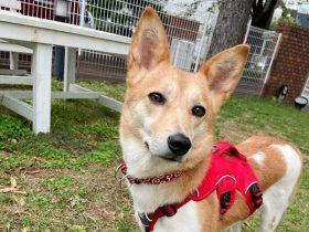 【新米ホーム犬】高齢者介護施設のホーム犬として「三春」卒業!