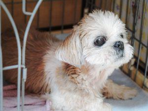 ~高齢でも病気でも、殺処分から救われた犬たちの命をつなぎたい~ Vol.1「ダンジェロ」