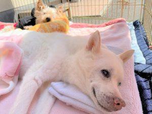 ~高齢でも病気でも、殺処分から救われた犬たちの命をつなぎたい~ Vol.2「ゴーラン」